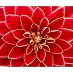 Red dahlia in close up view