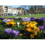 Blooming crocuses in park
