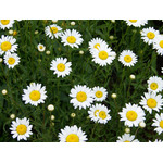 Daisy blooms in grass