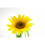 Blooming sunflower isolated