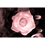Delicate rose macro photo