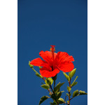Red hibiscus on a sunny day