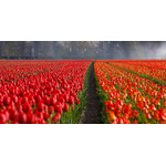 Tulip rows on field