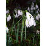 Snowdrops in grass