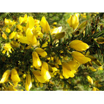Gorse flowers in nature