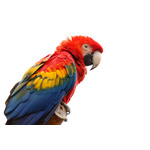 Photo of single Scarlet macaw