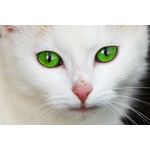 Green -eyed cat