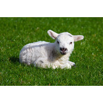 White lamb on the grass
