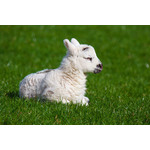 New-born lamb on spring meadow