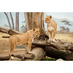 A big african lions