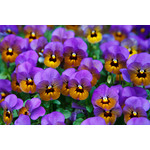 Blooming pansy flowers