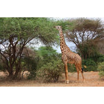 Giraffe in woodland