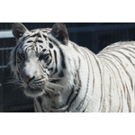 Royal White Tiger image